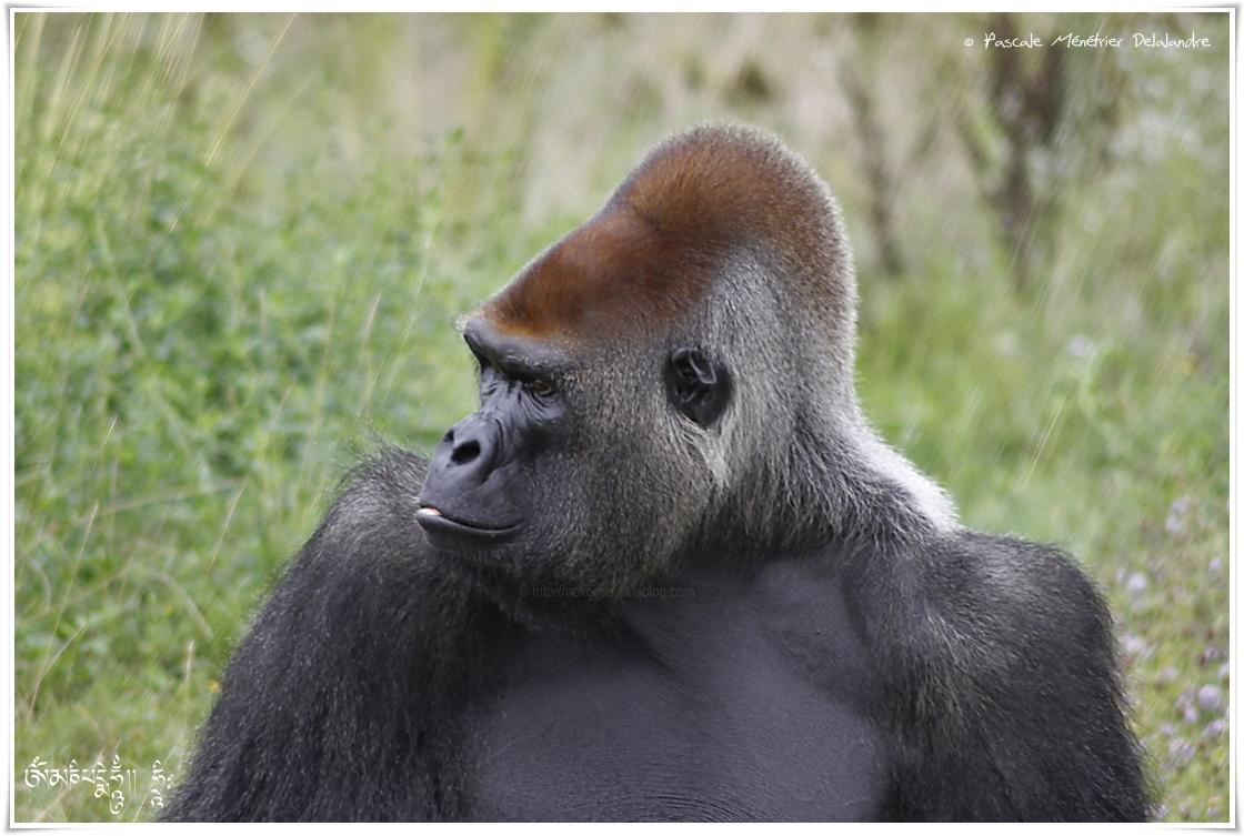 Mike, Gorille des plaines