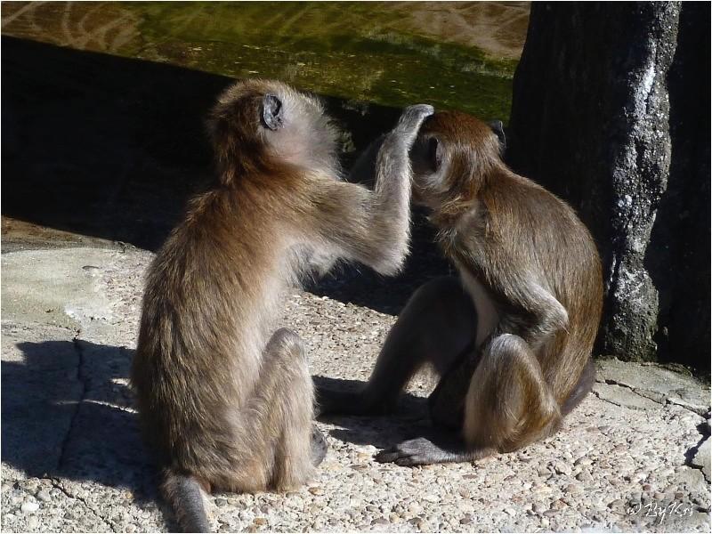 Macaques de Java ...