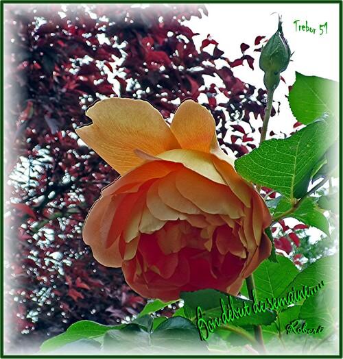 Profitons des roses avant la pluie.....