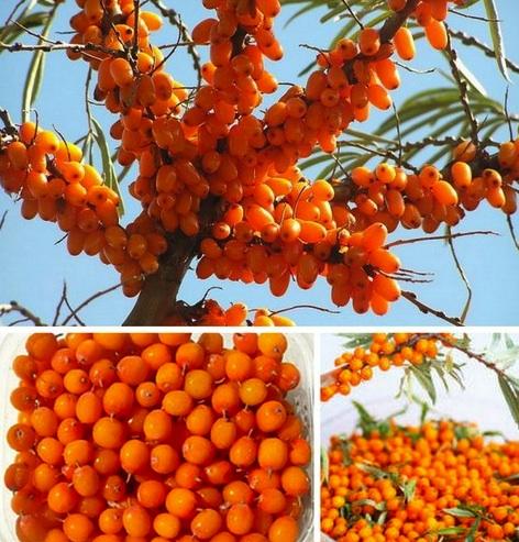 L 39 argousier recette nature - Fruit de l arbousier ...