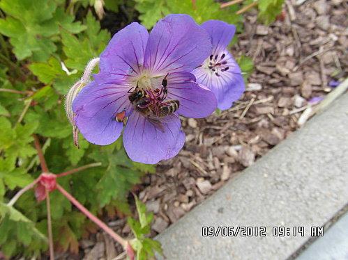 fleurs-9-Juin-003.JPG
