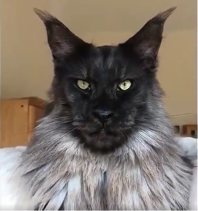 Chat Maine coon Twitter Lee Van Cleef