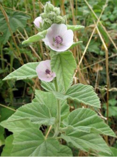 Fleurs cultivées : Guimauve