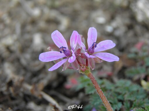 Erodium à feuilles de Cigüe
