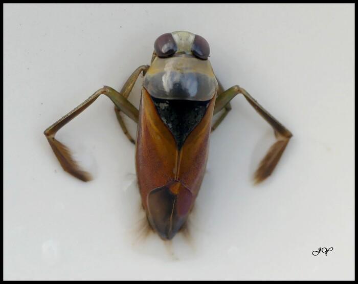 Notonecta meridionalis.