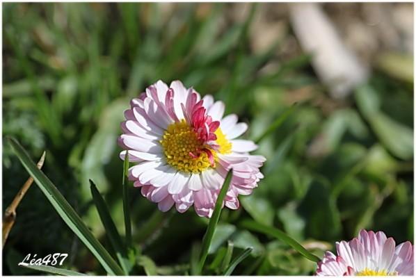 Fleurs-2-3128-paquerette-double.jpg