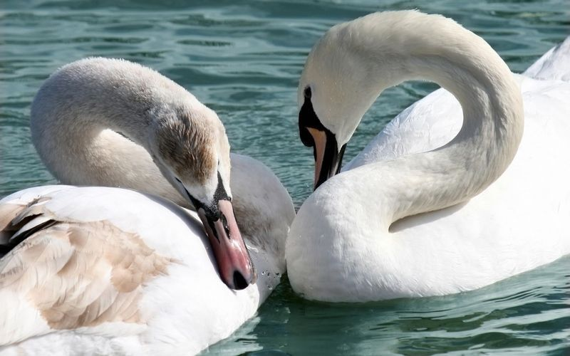 swan_water_steam_white_loyalty_1056_1440x900.jpg