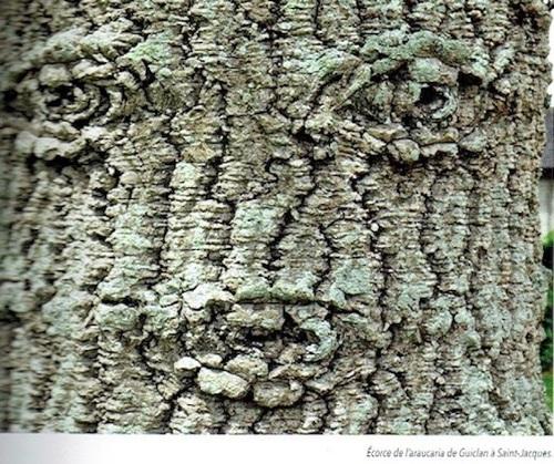 L'araucaria, un arbre classé remarquable