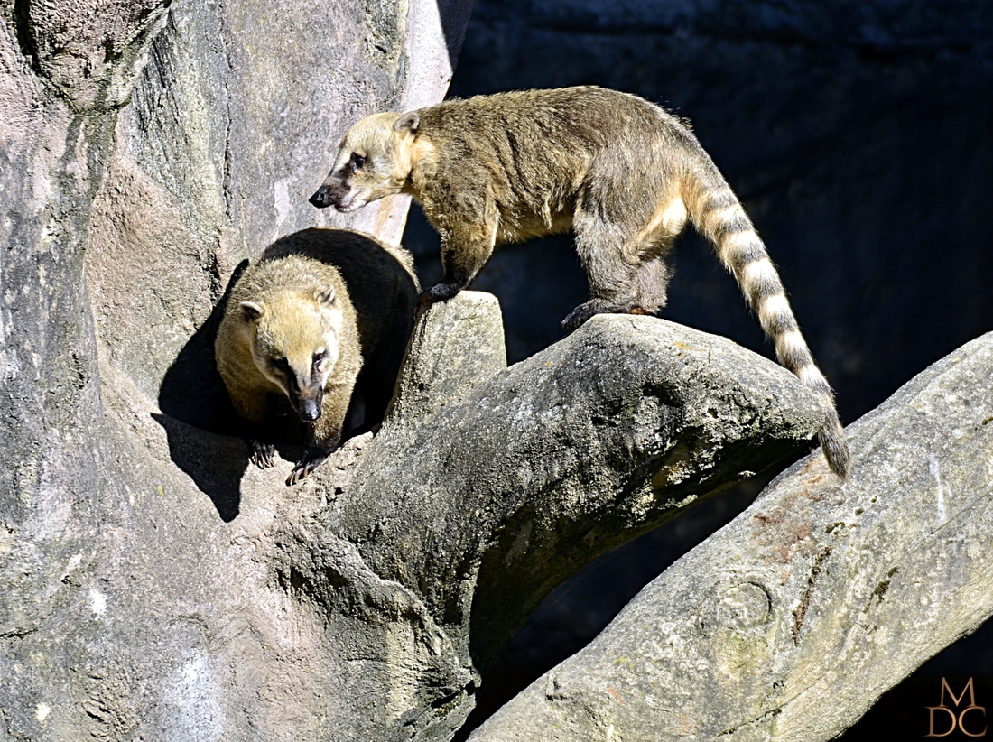 Coati roux