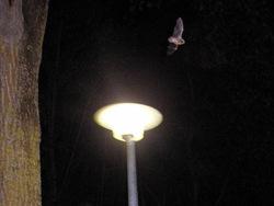 pipistrelle réverbère