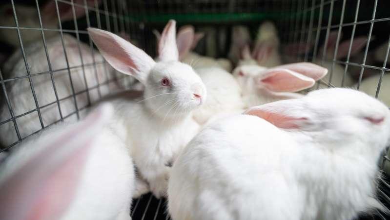Une nouvelle vidéo choc de L214 dénonce les conditions d'élevage des lapins en cage