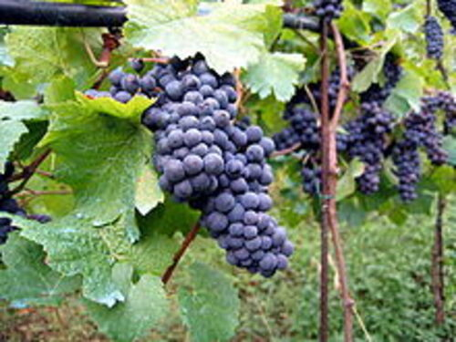 Mildéfis n° 264 - La vigne - Le raisin