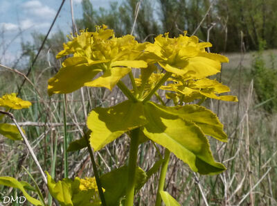 Euphorbia flavicoma subsp. verrucosa - euphorbe verruqueuse