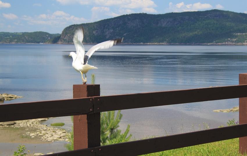 Mouette et Lac St Jean (quebec)