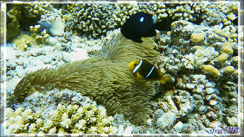 Poisson-clown à nageoires jaunes, Orangefin anemonefish (Amphiprion chrysopterus) et Demoiselle domino - Passe Tumakohua (passe sud) - Atoll de Fakarava - Tuamotu - Polynésie française