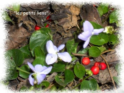 violettes-bleu-ciel.jpg