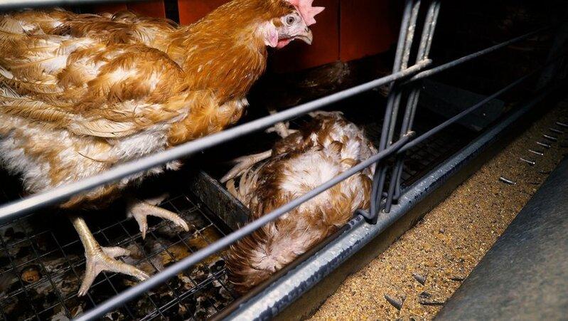 Poules en cages : le gouvernement couve un nouveau recul