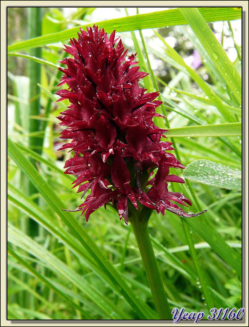 Orchidée nigritelle noire (Gymnadenia rhellicani) - Haute vallée du Lis - Bagnères-de-Luchon - 31  (Flore)
