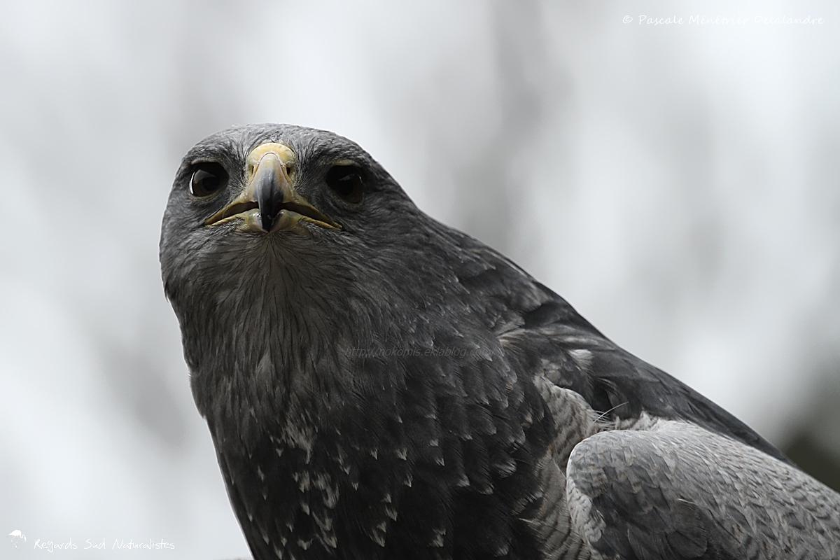 Portraits de Buse aguia (Geranoaetus melanoleucus), dite aussi Buse bleue