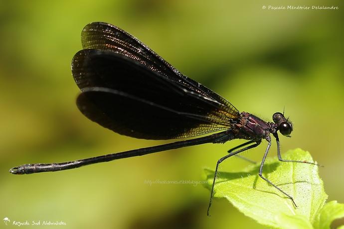 Caloptéryx hémorroïdal ♂  - Calopteryx haemorrhoidalis