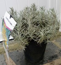 helichrysum italicum seroticum (immortelle à odeur de curry)