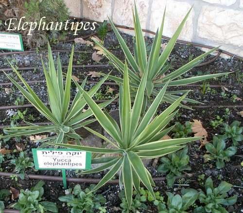Plantes d'Intérieur : YUCCA  (Agavacées)
