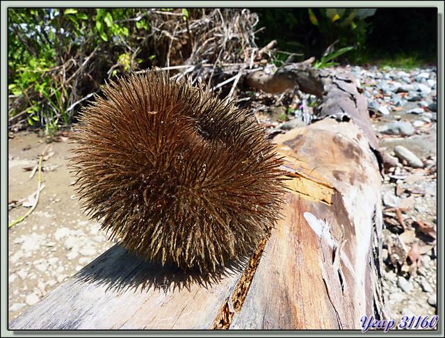 Blog de images-du-pays-des-ours : Images du Pays des Ours (et d'ailleurs ...), Oursin végétal - Los Patos - Puerto Viejo - Costa Rica