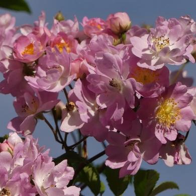 Des Journées de la Rose aux journées de mes roses : Euphrosyne...