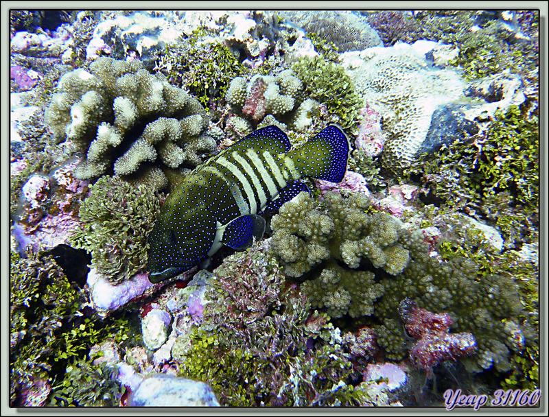 Plongée bouteille Passe de Tiputa : Mérou céleste - Rangiroa - Tuamotu - Polynésie française