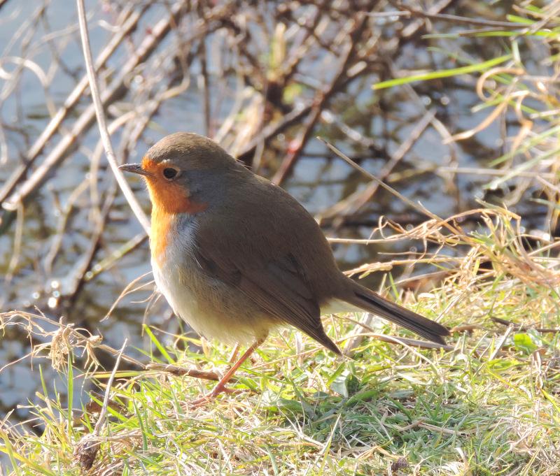 Un Robin peu farouche...