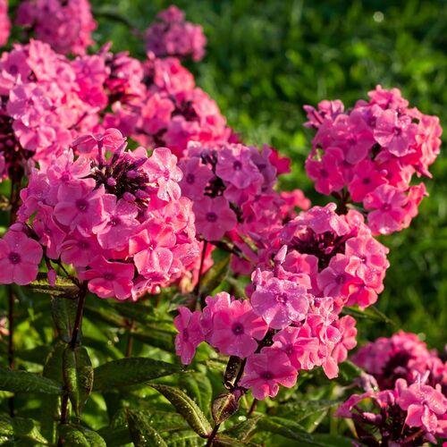 Fleurs cultivées : Phlox