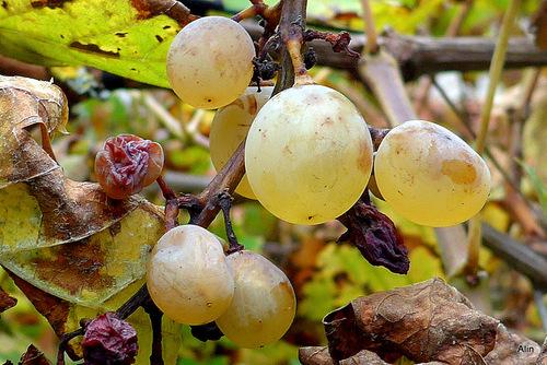 Des raisins