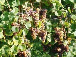 La vigne au jardin