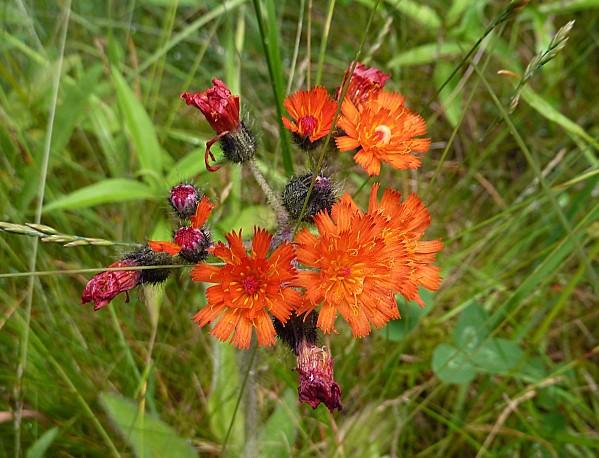 Acadia NP fleurs
