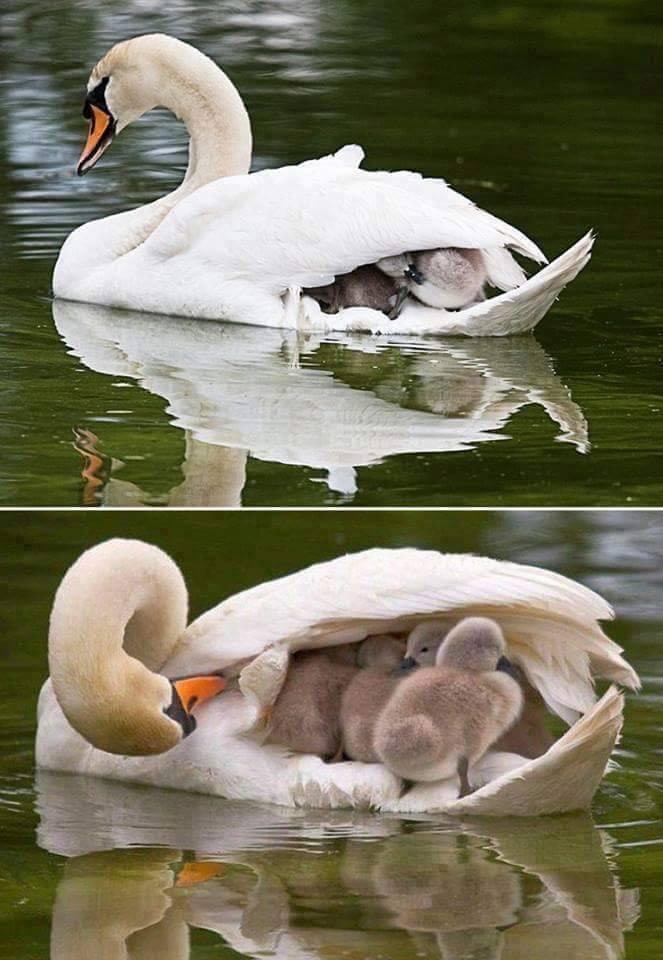 Cygne petits sur dos maman