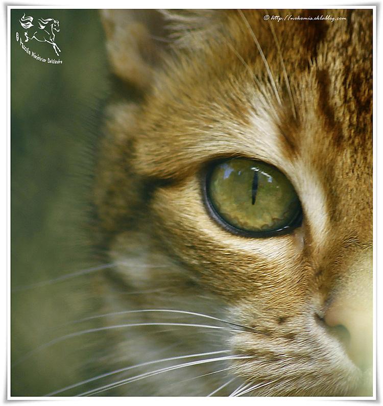 Regard de chat Européen