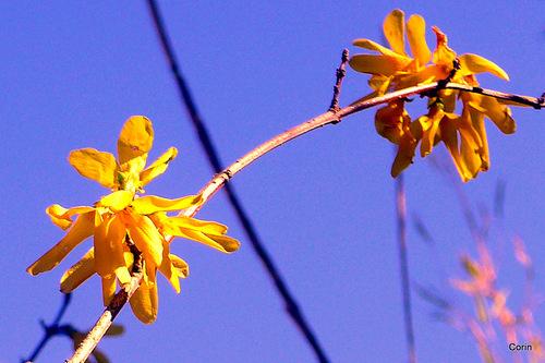 les fleurs du forsythia