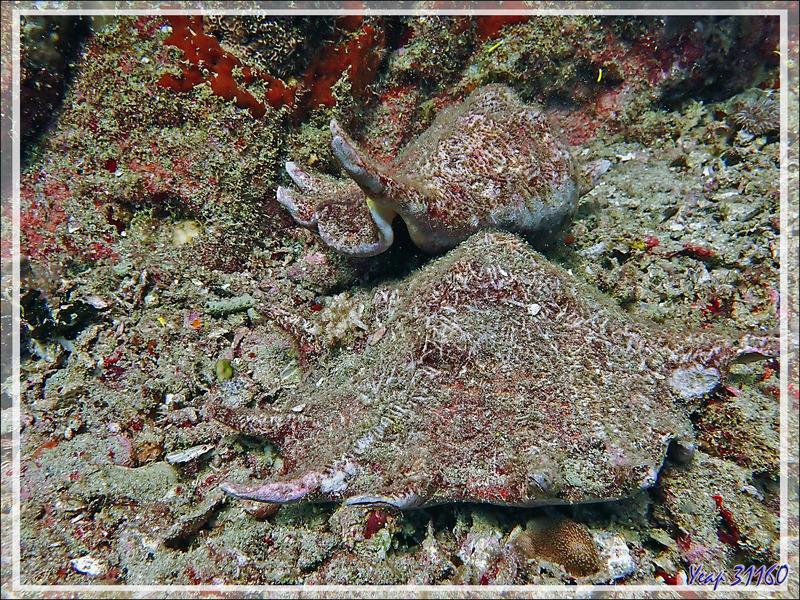 04/11/2019 : Strombe araignée commun sebae, Ptérocéne géant, Common large spider conch, Seba's spider conch (Lambis truncata sebae) - Baleine - Tsarabanjina - Mitsio - Madagascar