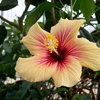 Hibiscus orange.jpg