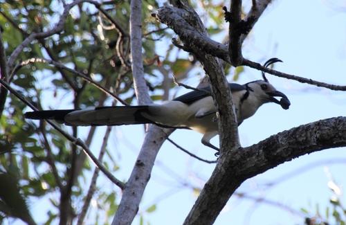 Costa Rica, le geai à face blanche