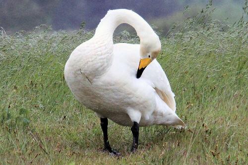 Cygne Chanteur (Whooper Swan)