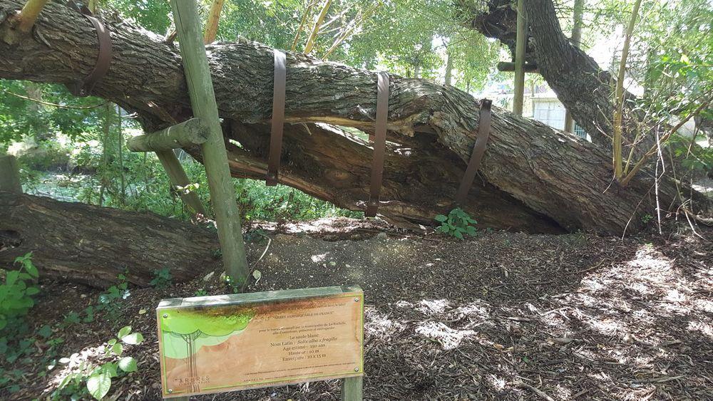 Un arbre remarquable : le saule blanc du Parc des Sources, à La Rochelle...