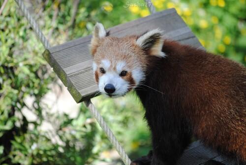 (16) Ying, le mâle panda roux.
