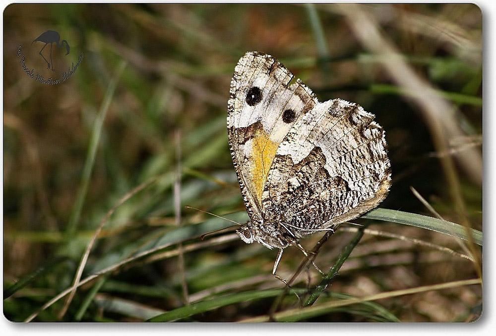 Agreste, Hipparchia semele - Nymphalidae