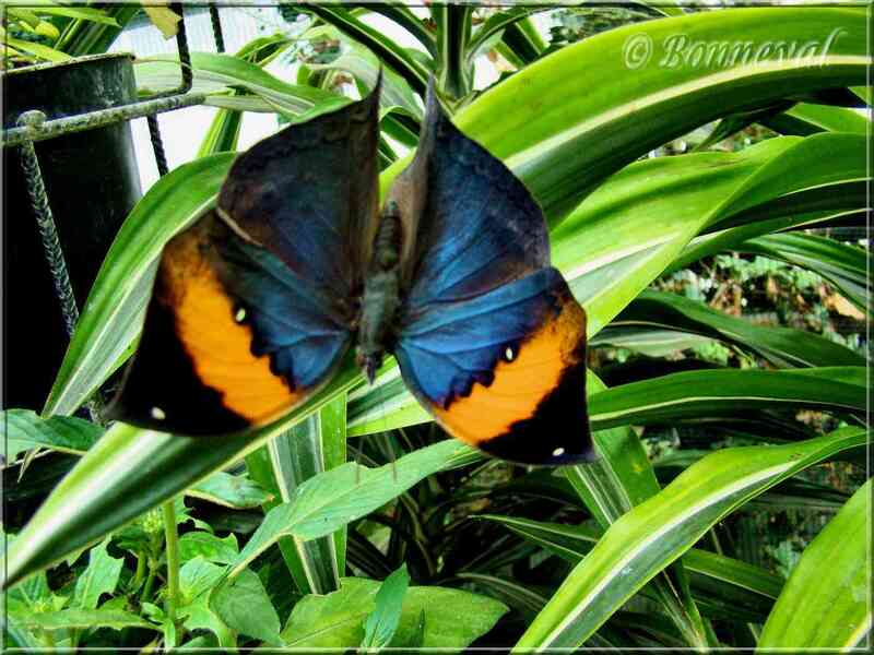 Papillons tropicaux Kallima paralekta