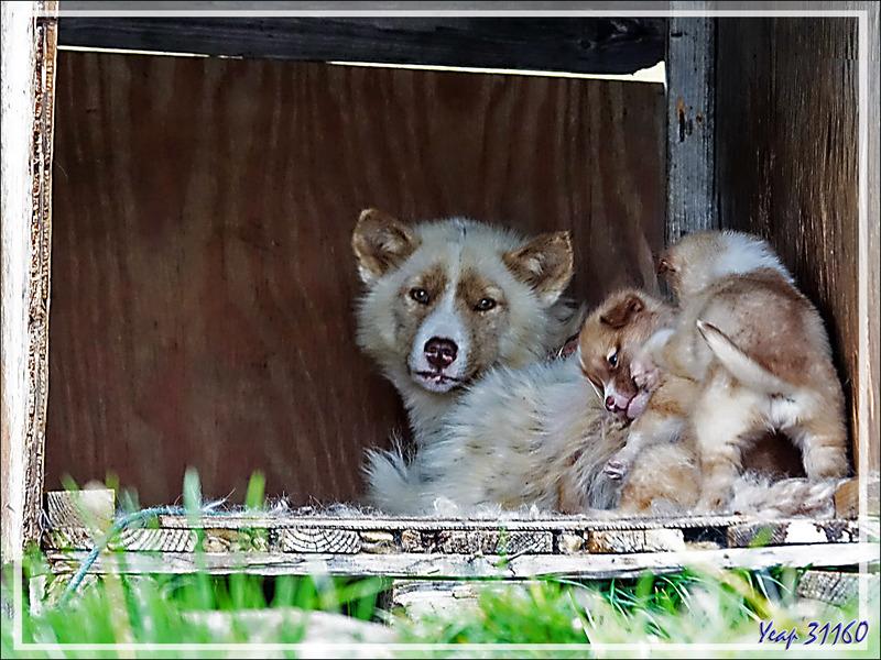Une vie de chien : les chiens de traîneaux - Qaanaaq (New Thule) - Groenland