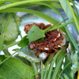 Euproctis Chrysorrhoea ou Bombyx Cul-Brun