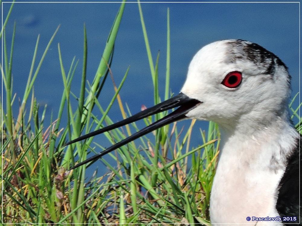 Printemps 2015 à la réserve ornitho du Teich - 11/13