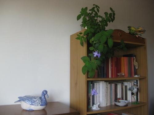 Le Streptocarpus cyaneus