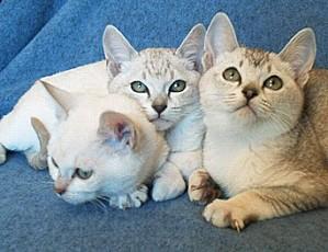 burmilla-kittens-2